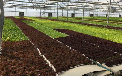 First Harvest in Growponics Turkey
